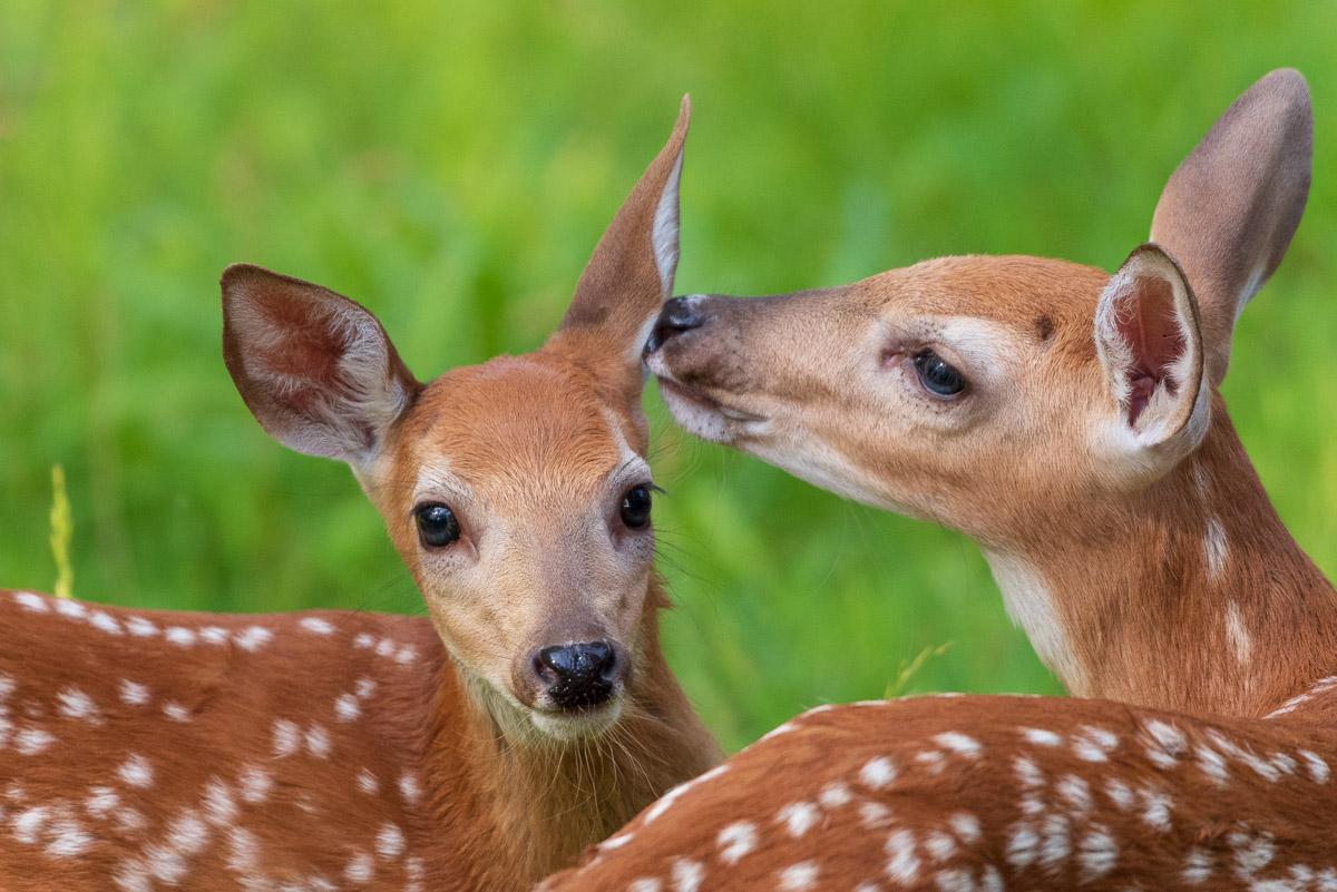 Penn Estates Deer